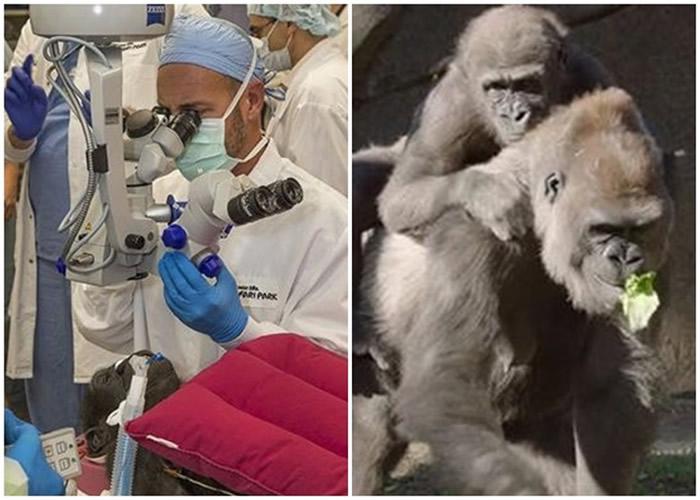 美国加州圣迭戈动物园大猩猩接受白内障手术治疗
