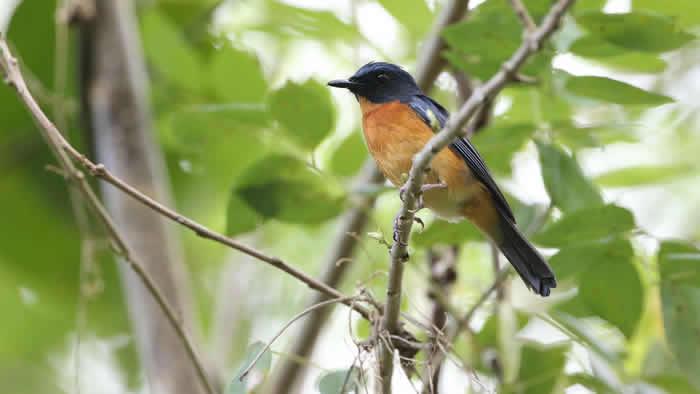 印度尼西亚Wallacean群岛上发现10个新的鸣禽物种和亚种