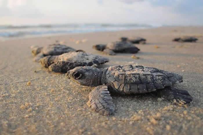 赤潮藻类大量繁殖 墨西哥南部太平洋海岸有292只绿海龟集体死亡
