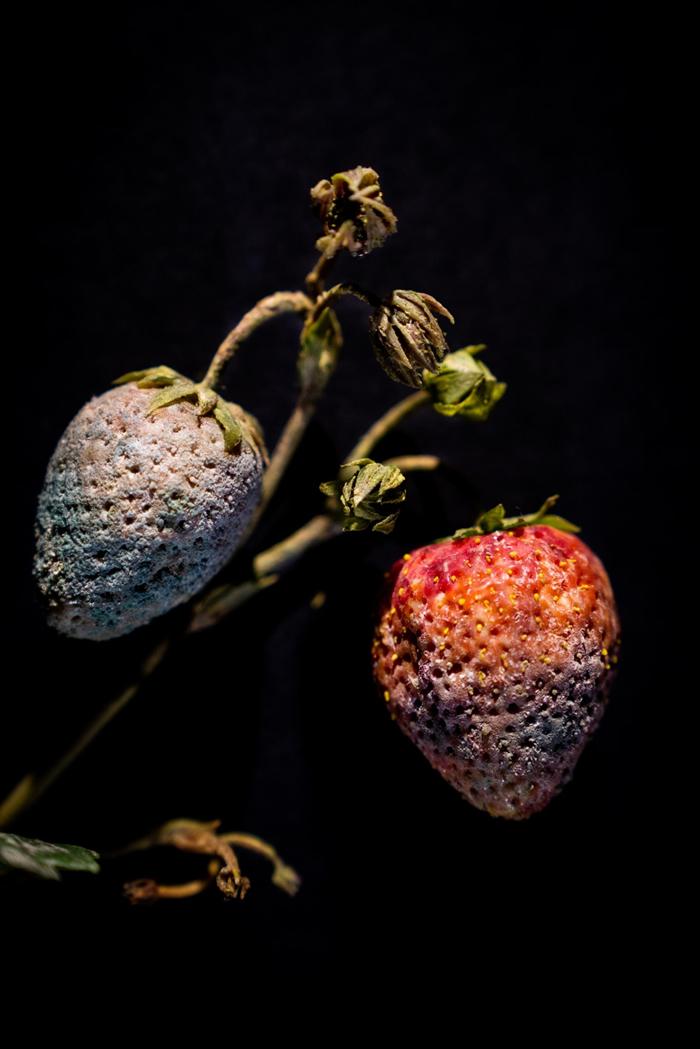 这个玻璃雕塑记录下了草莓长满葡萄孢菌(Botrytis)的模样。 这项展品在哈佛大学的腐果玻璃模型展展出。 PHOTOGRAPH BY JENNIFER BER