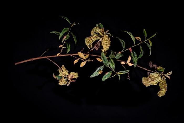 玻璃造的枝条展示了因外囊菌(Taphrina )而枯萎的叶子,也称为缩叶病(peach leaf curl)。 PHOTOGRAPH BY JENNIFER B