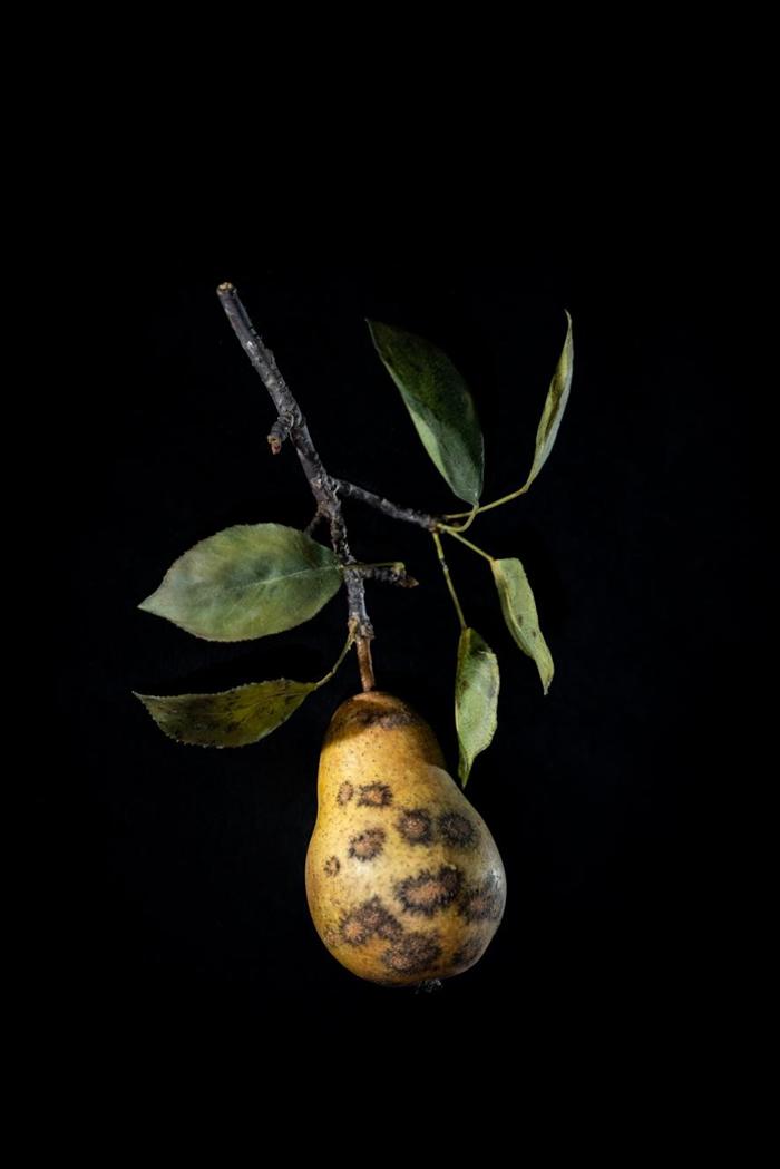 感染黑星病(pear scab)的梨子玻璃模型。 PHOTOGRAPH BY JENNIFER BERGLUND, THE WARE COLLECTION OF