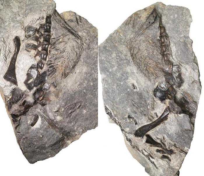 左右两张照片展示新出土的成年蜥代龙(varanopid)部分化石,牠和一只幼兽一起被保存在一大块植物残骸之中。 COURTESY OF HILLARY MADD