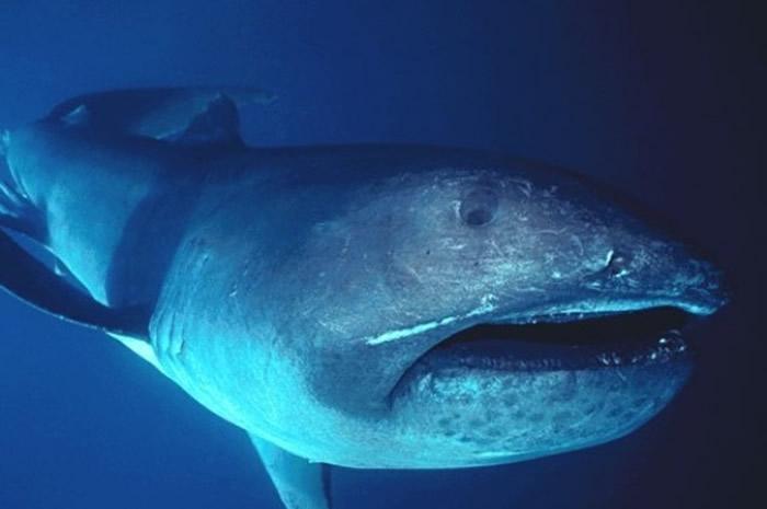 全球巨口鲨(Megachasma pelagios)族群数据,过半在台湾发现。 作者:FLMNH Ichtyology;图片来源:维基百科(CC BY-SA 4