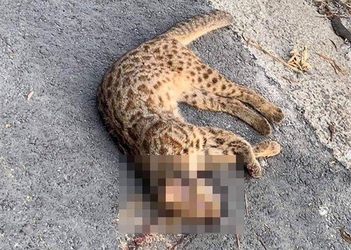 台湾豹猫疑遭汽车辗死 离警示牌仅2公里