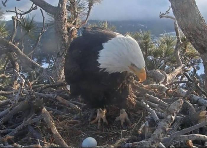 """母鹰""""Jackie""""紧张照看秃鹰蛋。"""