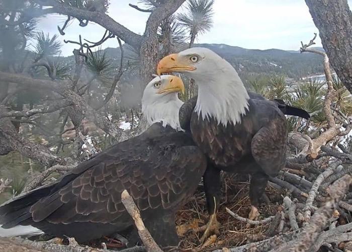 秃鹰父母喜迎今年首枚秃鹰蛋。