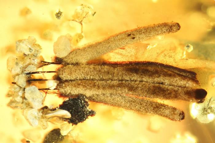 一亿年历史的缅甸琥珀中发现已知最古老的粘液霉菌