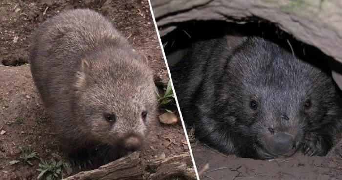 袋熊在大火期间表现出异常行为 与试图逃生的小动物分享洞穴