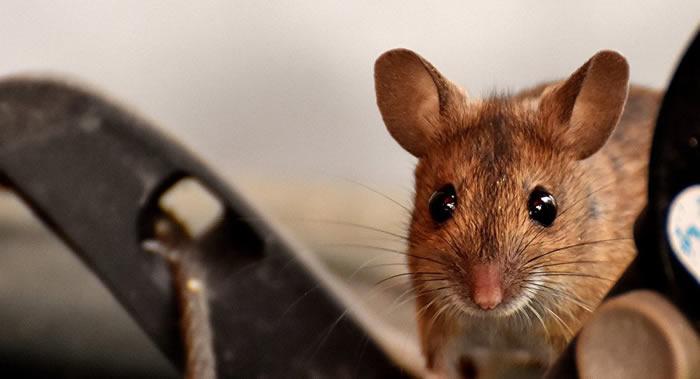 弓形虫能减少感染病菌的小鼠的焦虑
