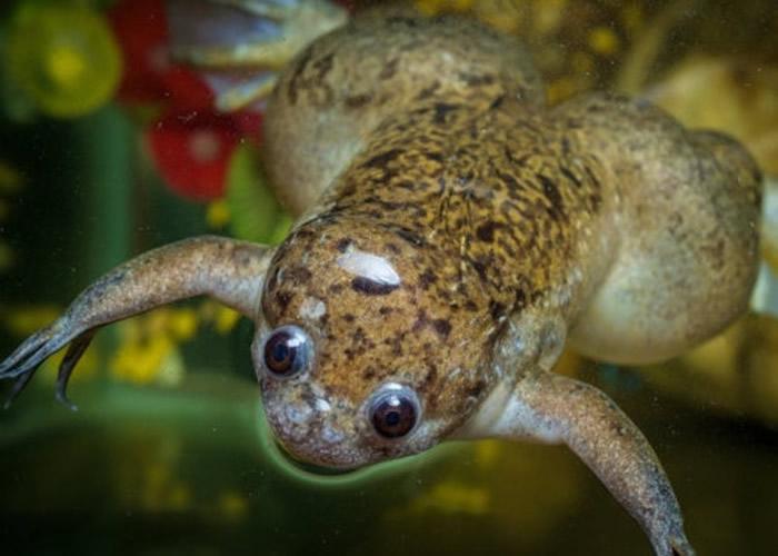 活体机器人利用非洲爪蛙的干细胞制成。