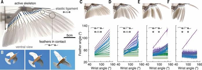 """对""""机器鸽""""的羽量级了解推近飞行机器人对鸟类飞行的模仿"""
