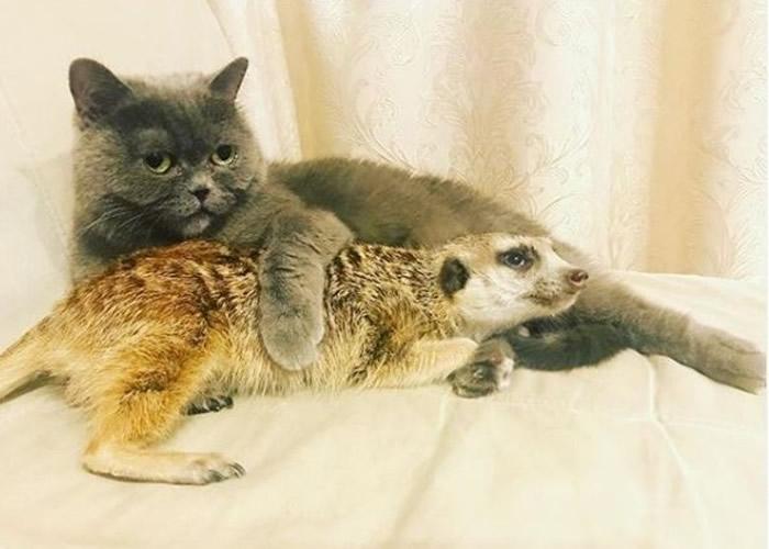 俄罗斯圣彼得堡动物网红特别组合 狐獴与猫结下跨物种友情