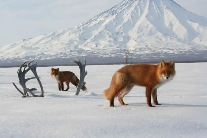 """俄罗斯远东""""克罗诺茨基""""自然保护区发布以脱落鹿角为背景的狐狸照片"""