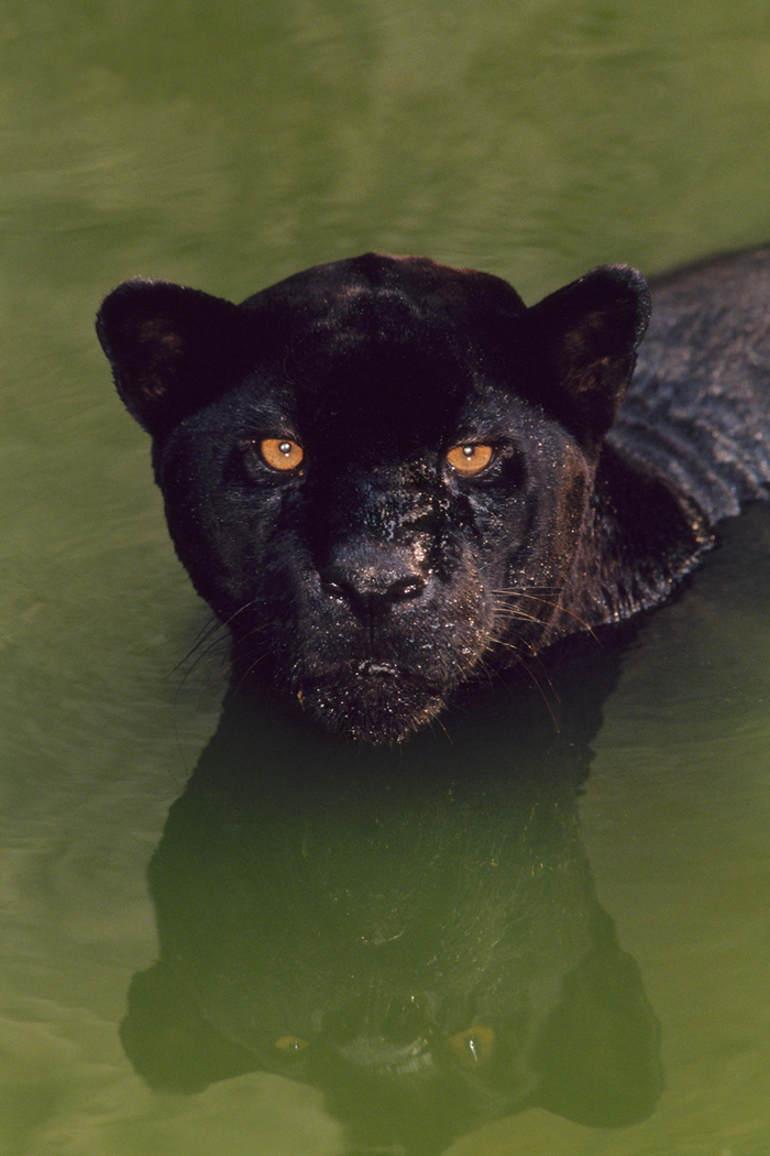 一只黑色美洲豹在巴西游泳。 「黑豹」(black panther)这个专有名词是一个概括性术语,涵盖了14种会有黑化症的野生猫科物种。 PHOTOGRAPH B