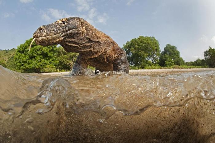 科莫多龙咬伤猎物后,能够在毒液发作时跟踪猎物几公里,并利用牠们的敏锐嗅觉对准猎物尸体前进。 PHOTOGRAPH BY STEPHEN ALVAREZ, NAT