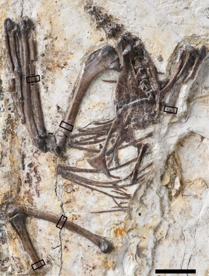 娇小意外鸟(Mirusavis parvus)正型,比例尺10 mm。(文中图片均由王敏提供)