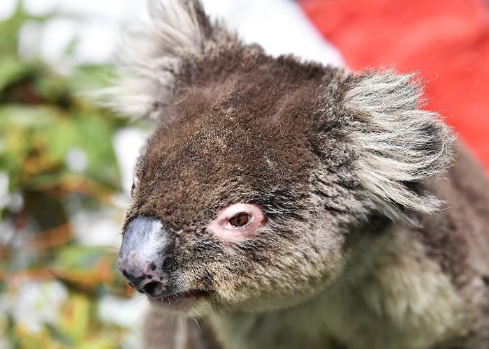 大雨未解澳洲山火危机 10亿动物死亡恐成生态浩劫