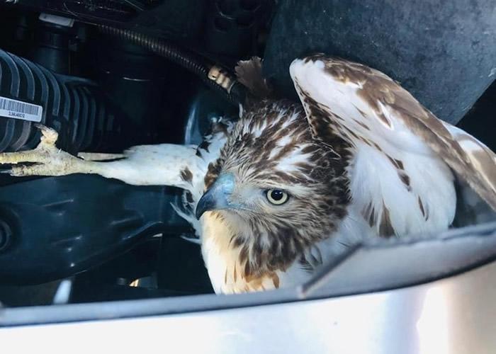 美国女子开车驶经康涅狄格州公路时意外撞上正飞翔的猛禽红尾鹰