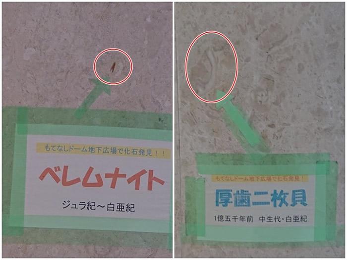 柱上的菊石亚种(左图圈中)和厚齿二枚贝(右图圈中),都清楚可见。
