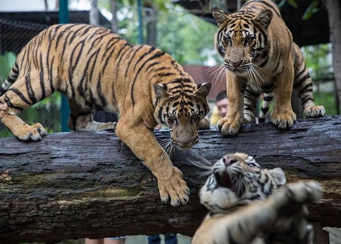 泰国山林有老虎出没。