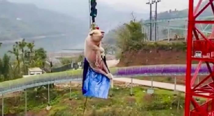 """""""重庆景区开业让猪蹦极""""的视频在网上传播"""
