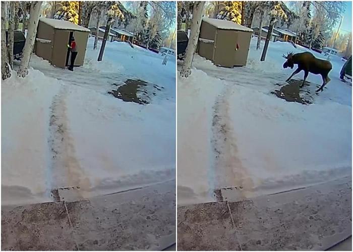 美国阿拉斯加州胆小男子倒垃圾遇麋鹿躲进垃圾房 致电妻女求救被当打错