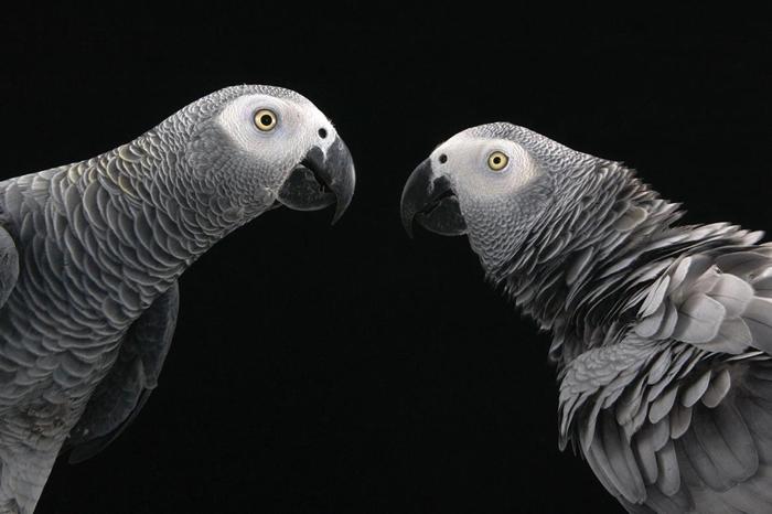 非洲灰鹦鹉是社会关系最复杂的鸟类之一,也由于「能言善道」成为热门宠物。 PHOTOGRAPH BY JOEL SARTORE, NATIONAL GEOGRAP