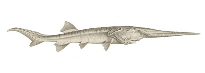 白鲟长着像剑一般的长喙,这个像吻的构造上长满了特殊的细胞,可侦测如甲壳动物之类猎物的电子活动。 白鲟的分布范围很广,距离遍及整个长江流域盆地的广阔范围,甚至还会