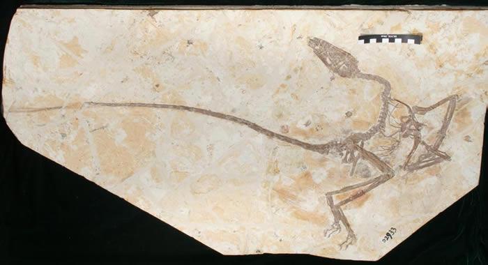 """中国辽宁出土的白垩纪有羽小恐龙""""舞龙""""填补从恐龙进化到鸟类的化石证据空白"""