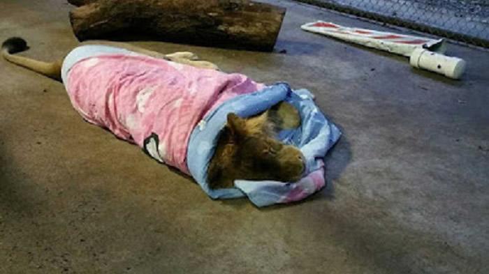 非洲狮从小开始就习惯小被被就不离身。(图/翻摄自In-Sync Exotics Wildlife Rescue and Educational Center 脸