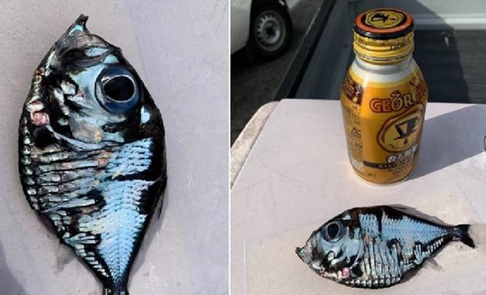 日本渔民钓到外型十分奇特的银色怪鱼 专家:属于褶胸鱼科的深海鱼