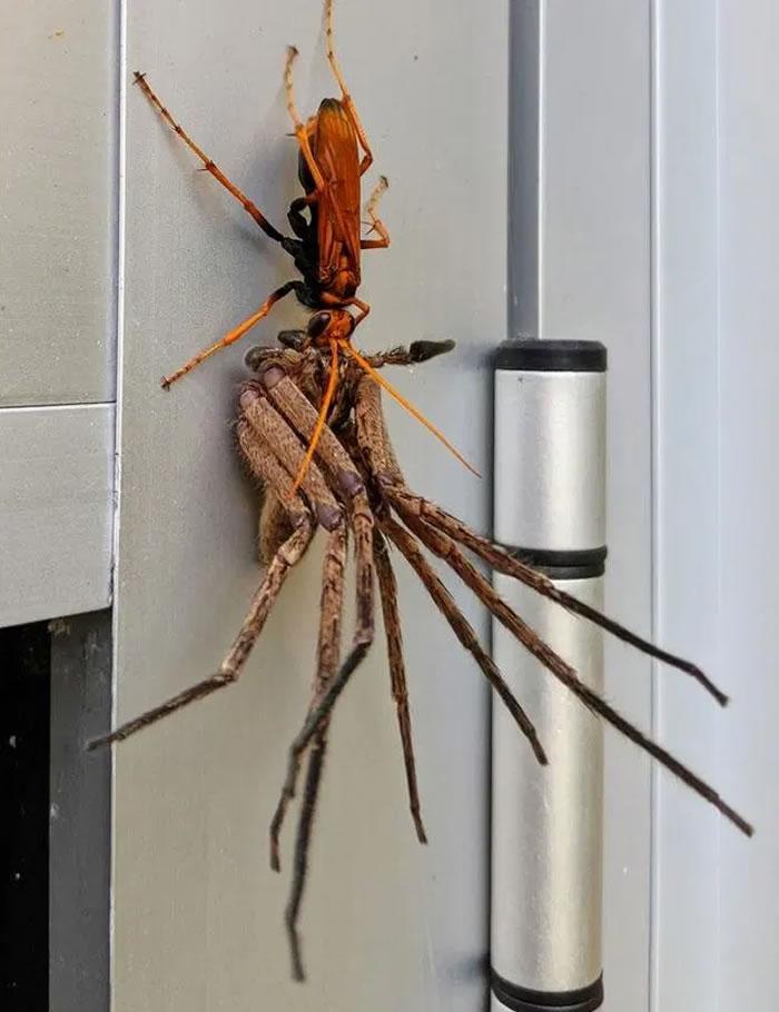 澳洲巨大橘色蛛蜂拖走巨蟹蛛