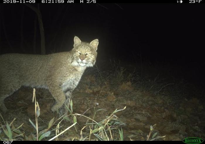 一头截尾猫(Lynx rufus)于2019年11月9日经过华盛顿特区的切萨皮克与俄亥俄运河国家历史公园。 这是近期该城市首次获得证实的截尾猫目击事件。 PHO
