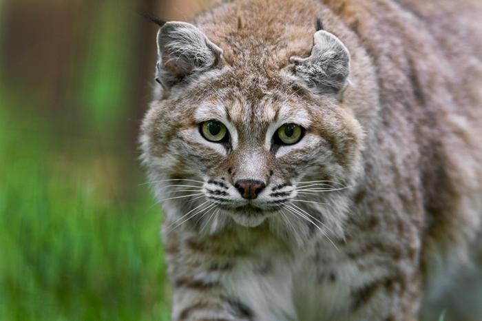 截尾猫在美国西岸城镇的周边区域并不罕见,比如照片中这只截尾猫正是摄于波特兰。 但牠们较少出现在美东城市,例如华盛顿特区之前并没有该物种的近期纪录──现在却不同了