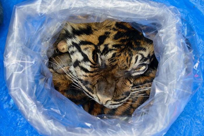 印尼男子出售苏门答腊虎皮被捕