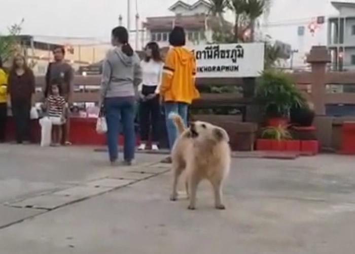 """泰国素辇府锡卡拉蓬火车站一只流浪狗每天早上及傍晚都会""""唱""""国歌"""