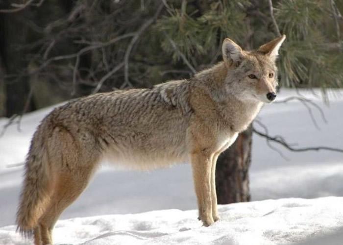 美国新罕布什尔州一名父亲救儿心切徒手杀死郊狼