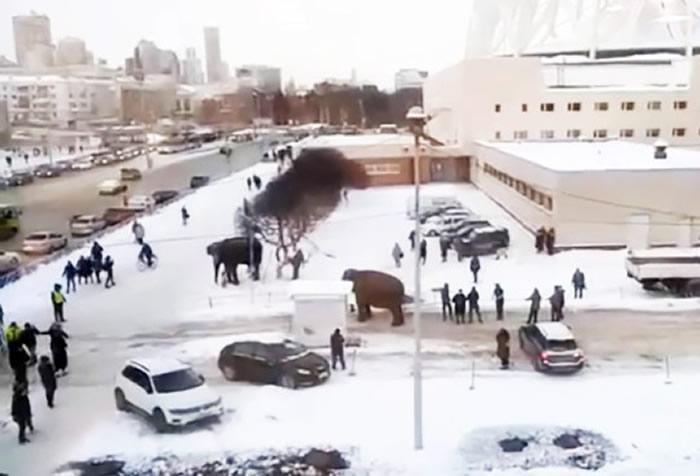 俄罗斯叶卡捷琳堡马戏团2头大象出去散步趁机逃跑 在雪地里面疯狂玩耍嬉闹
