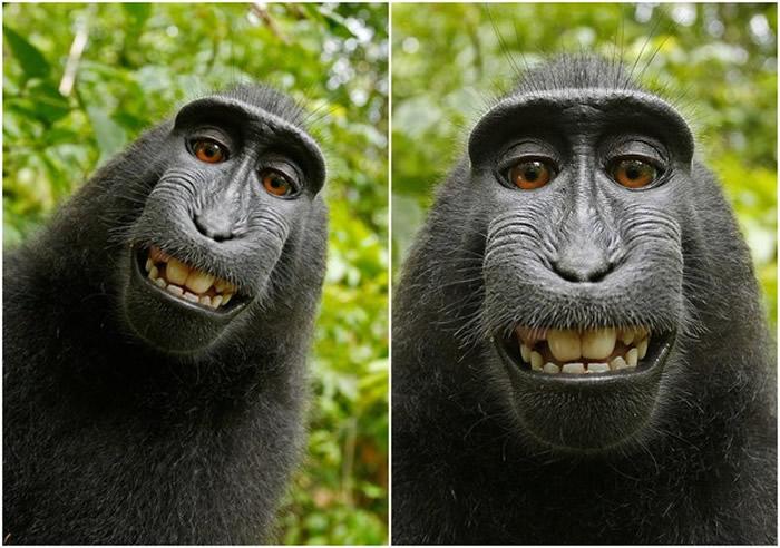 英国摄影师David Slater在印尼苏拉威西岛让黑冠狝猴玩自拍 照片爆红却让他惨吃官司