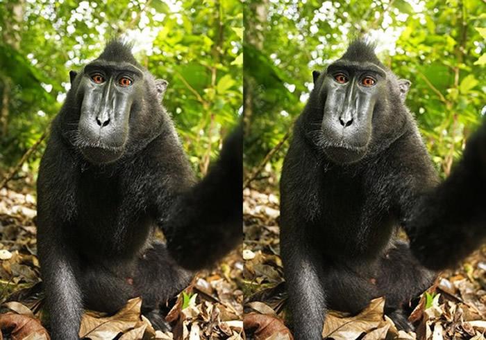 「猴子自拍照」至今都还能在维基百科图库找到。(图/翻摄自维基百科)