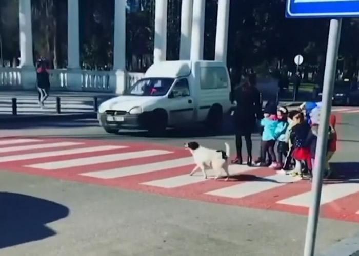 """格鲁吉亚流浪狗""""Kursha""""香肠成守护神 每日在斑马线上""""喝""""停汽车让学童安全过马路"""