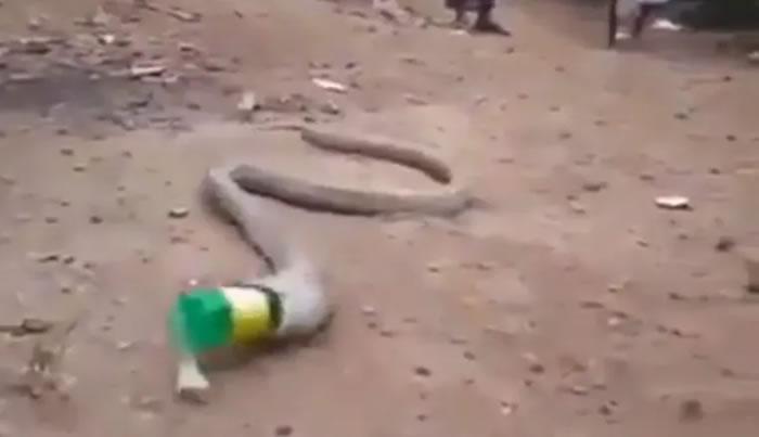 印度一条蛇刚吞下食物腹部肿胀被民众长棍戳 反刍吐出宝特瓶