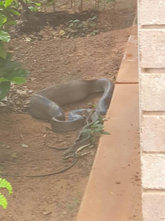 澳大利亚北领地凯瑟琳市女子眼巴巴地看着蟒蛇将猫咪吞进肚子