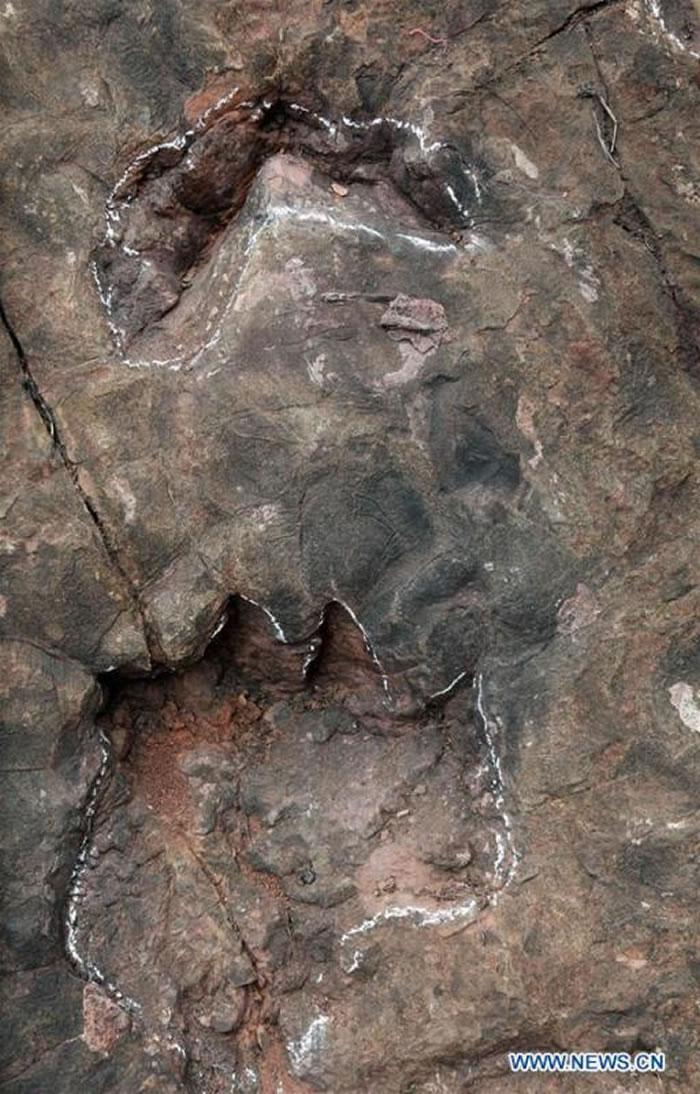 资料图:中国西南部贵州省茅台乡一家酒厂的施工现场发现的侏罗纪早期恐龙脚印化石。