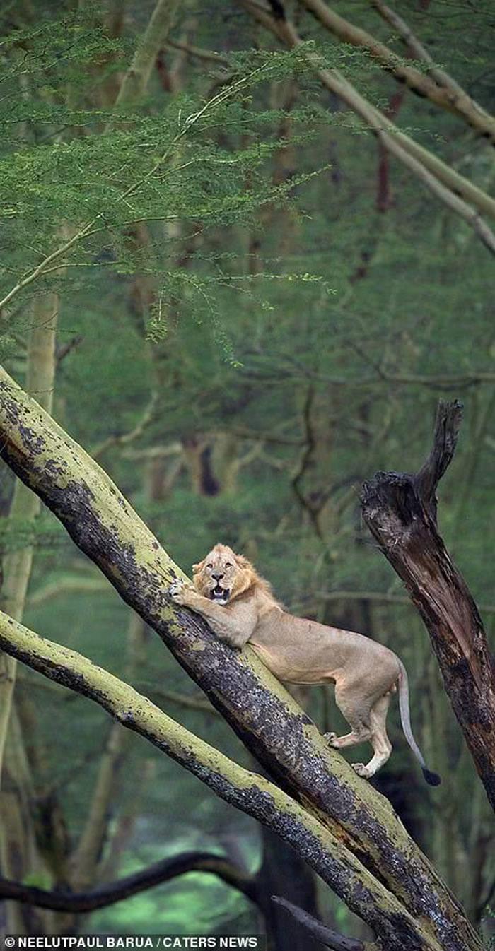 肯亚纳库鲁湖国家公园狮子惹怒一群水牛被追到相思树上