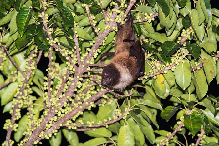 台湾狐蝠曾一度以为消失于本岛,2018年重启调查,就在花莲市有稳定的族群。 摄影:郑锡奇