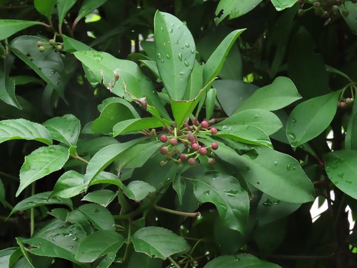 以花朵、花粉、花蜜、果实与树叶为主食的台湾狐蝠,又有果蝠之称,是素食者更是传花授粉好手。 摄影:廖静蕙