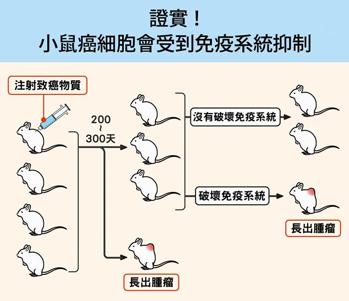 研究人员先对一群健康小鼠注射致癌物质,经过半年多,发现只有少数小鼠罹癌,大部分仍然很健康。 接着,研究人员破坏小鼠的细胞性免疫系统,尤其是 T 细胞免疫,结果约