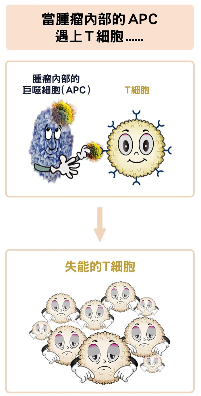 肿瘤中的巨噬细胞,反而会抑制 T 细胞的活化。数据源│陶秘华 图说原作│张峰碧 图说美化│林洵安